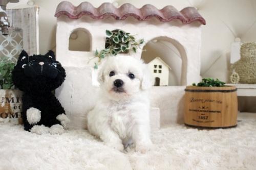 ビションフリーゼの子犬(ID:1255411150)の1枚目の写真/更新日:2018-06-25