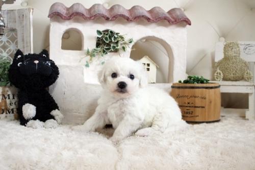 ビションフリーゼの子犬(ID:1255411150)の2枚目の写真/更新日:2018-06-25