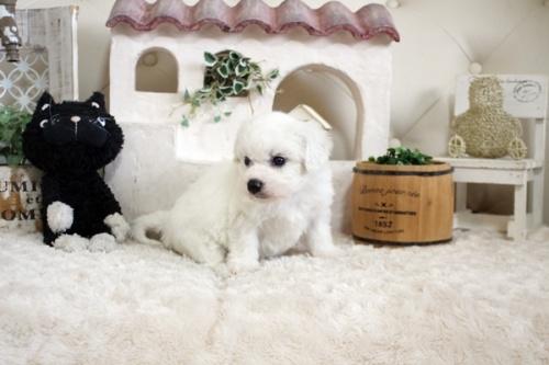 ビションフリーゼの子犬(ID:1255411150)の3枚目の写真/更新日:2018-06-25