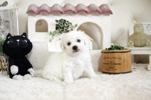 ビションフリーゼの子犬(ID:1255411150)の4枚目の写真/更新日:2021-02-14
