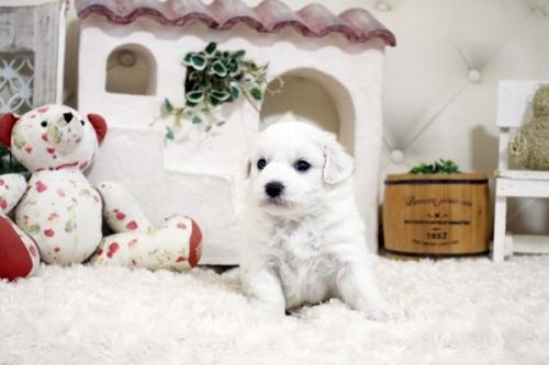 ビションフリーゼの子犬(ID:1255411151)の1枚目の写真/更新日:2019-01-11