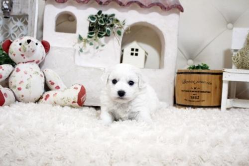 ビションフリーゼの子犬(ID:1255411151)の2枚目の写真/更新日:2019-01-11