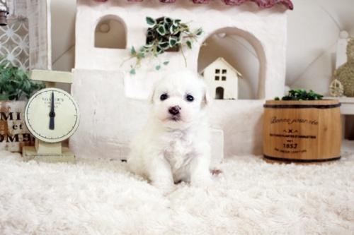 ビションフリーゼの子犬(ID:1255411152)の1枚目の写真/更新日:2019-01-11