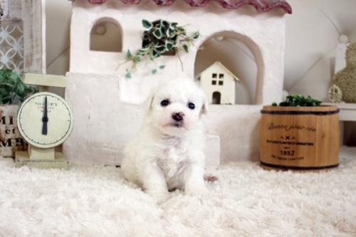 ビションフリーゼの子犬(ID:1255411152)の2枚目の写真/更新日:2019-01-11