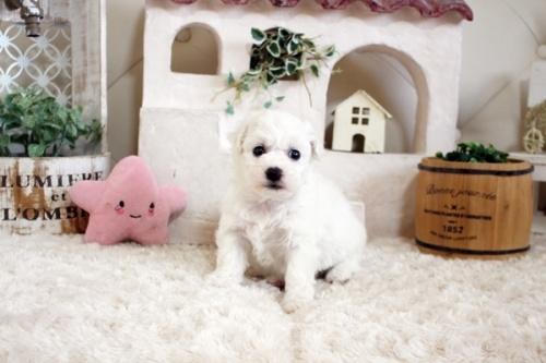 ビションフリーゼの子犬(ID:1255411153)の1枚目の写真/更新日:2019-01-11