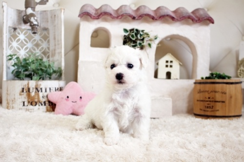 ビションフリーゼの子犬(ID:1255411153)の2枚目の写真/更新日:2019-01-11
