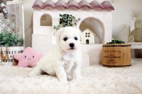 ビションフリーゼの子犬(ID:1255411153)の3枚目の写真/更新日:2019-01-11