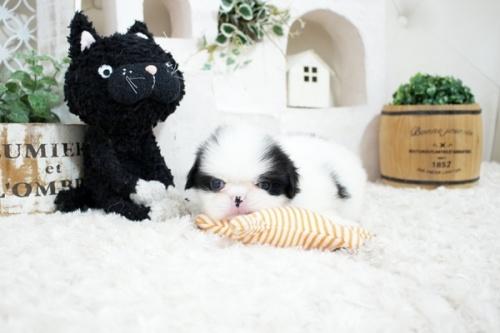 狆(チン)の子犬(ID:1255411164)の1枚目の写真/更新日:2021-08-25
