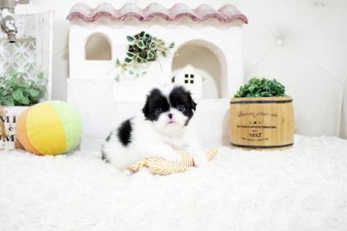 狆(チン)の子犬(ID:1255411167)の1枚目の写真/更新日:2021-08-25