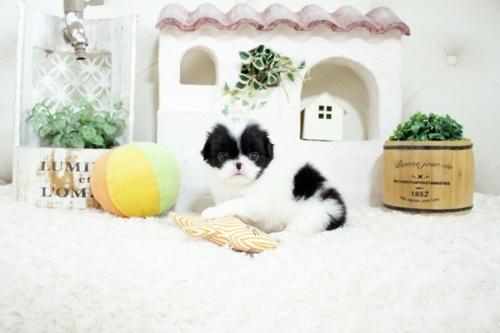 狆(チン)の子犬(ID:1255411167)の2枚目の写真/更新日:2021-08-25