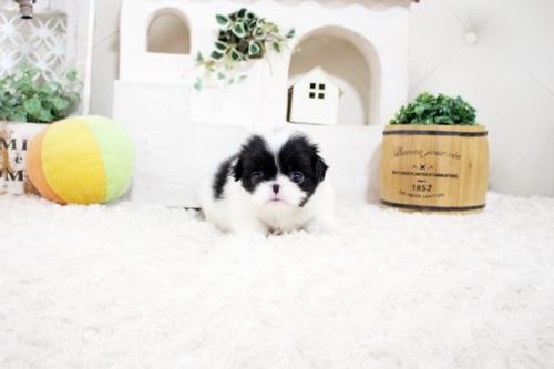 狆(チン)の子犬(ID:1255411167)の3枚目の写真/更新日:2021-08-25