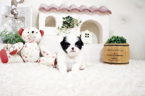 狆(チン)の子犬(ID:1255411168)の1枚目の写真/更新日:2021-08-25