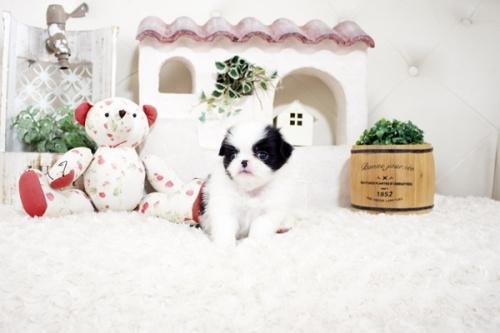 狆(チン)の子犬(ID:1255411168)の2枚目の写真/更新日:2021-08-25