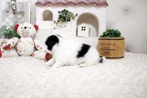 狆(チン)の子犬(ID:1255411168)の3枚目の写真/更新日:2021-08-25