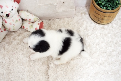 狆(チン)の子犬(ID:1255411168)の4枚目の写真/更新日:2021-08-25