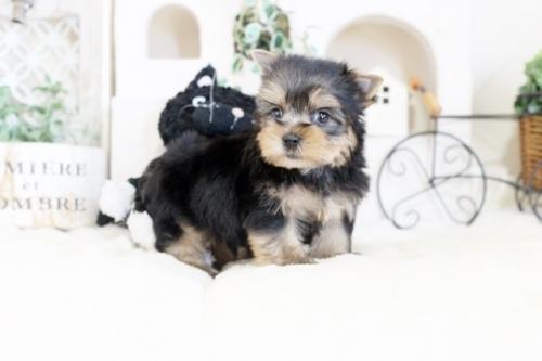 ヨークシャーテリアの子犬(ID:1255411188)の1枚目の写真/更新日:2020-02-25