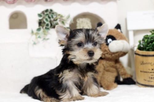 ヨークシャーテリアの子犬(ID:1255411189)の1枚目の写真/更新日:2021-02-01