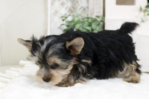 ヨークシャーテリアの子犬(ID:1255411189)の2枚目の写真/更新日:2021-02-01
