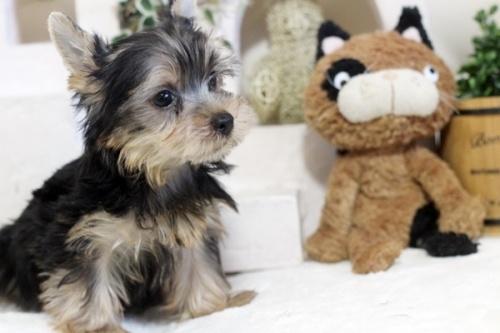 ヨークシャーテリアの子犬(ID:1255411189)の3枚目の写真/更新日:2021-02-01