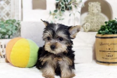 ヨークシャーテリアの子犬(ID:1255411191)の1枚目の写真/更新日:2021-02-01