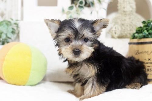 ヨークシャーテリアの子犬(ID:1255411191)の3枚目の写真/更新日:2021-02-01