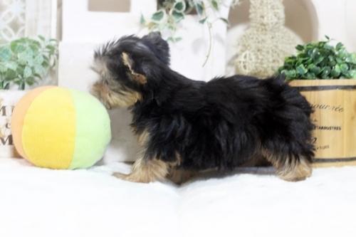 ヨークシャーテリアの子犬(ID:1255411191)の4枚目の写真/更新日:2021-02-01