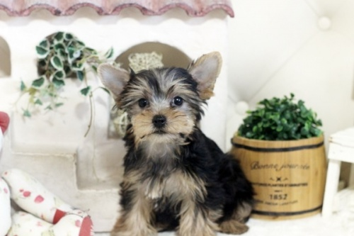 ヨークシャーテリアの子犬(ID:1255411195)の1枚目の写真/更新日:2021-02-01