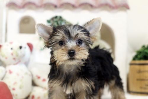ヨークシャーテリアの子犬(ID:1255411195)の2枚目の写真/更新日:2021-02-01