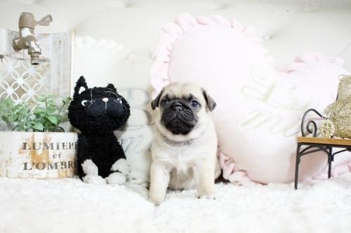 パグの子犬(ID:1255411204)の1枚目の写真/更新日:2019-02-24