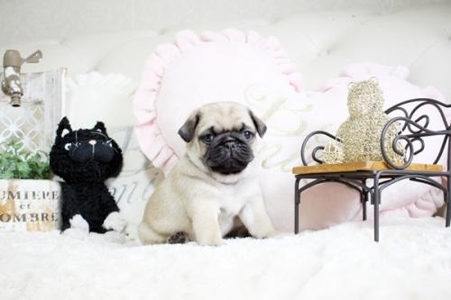 パグの子犬(ID:1255411204)の2枚目の写真/更新日:2019-02-24