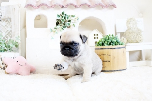 パグの子犬(ID:1255411205)の2枚目の写真/更新日:2020-05-04