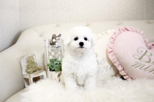 ビションフリーゼの子犬(ID:1255411206)の1枚目の写真/更新日:2021-04-29