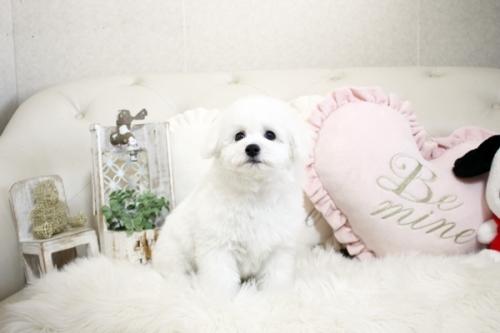 ビションフリーゼの子犬(ID:1255411206)の2枚目の写真/更新日:2021-04-29