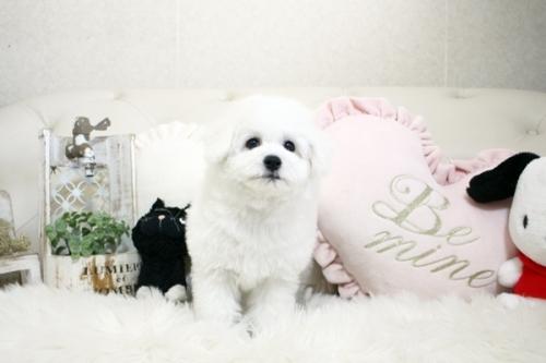ビションフリーゼの子犬(ID:1255411206)の3枚目の写真/更新日:2021-04-29