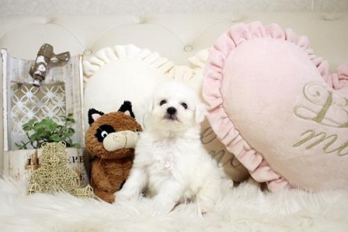 ビションフリーゼの子犬(ID:1255411207)の1枚目の写真/更新日:2021-04-29