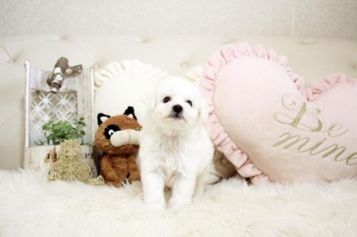 ビションフリーゼの子犬(ID:1255411207)の3枚目の写真/更新日:2021-04-29