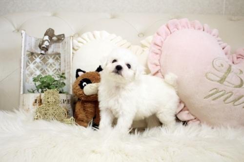 ビションフリーゼの子犬(ID:1255411207)の4枚目の写真/更新日:2021-04-29