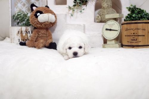 ビションフリーゼの子犬(ID:1255411208)の1枚目の写真/更新日:2021-04-29