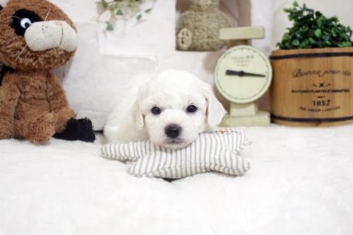ビションフリーゼの子犬(ID:1255411208)の2枚目の写真/更新日:2021-04-29