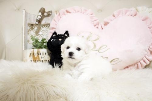 ビションフリーゼの子犬(ID:1255411208)の3枚目の写真/更新日:2021-04-29