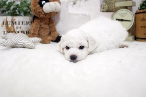 ビションフリーゼの子犬(ID:1255411208)の4枚目の写真/更新日:2021-04-29