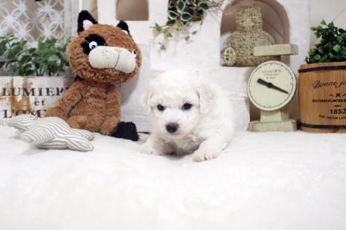 ビションフリーゼの子犬(ID:1255411208)の5枚目の写真/更新日:2021-04-29
