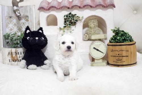 ビションフリーゼの子犬(ID:1255411209)の1枚目の写真/更新日:2021-04-29