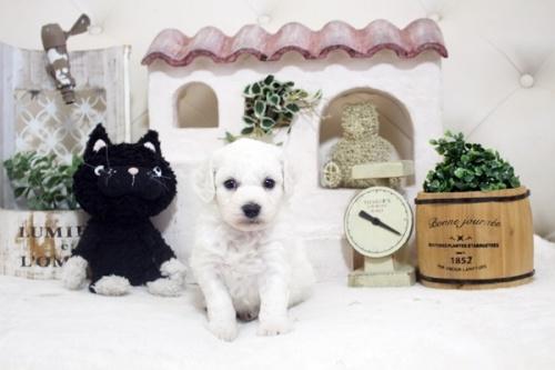 ビションフリーゼの子犬(ID:1255411209)の2枚目の写真/更新日:2021-04-29