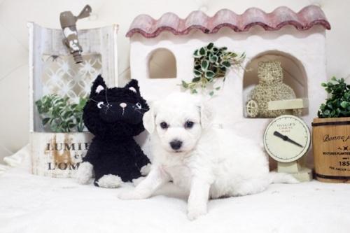 ビションフリーゼの子犬(ID:1255411209)の3枚目の写真/更新日:2021-04-29