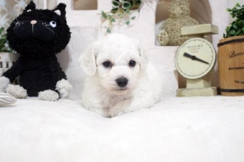 ビションフリーゼの子犬(ID:1255411209)の4枚目の写真/更新日:2021-04-29