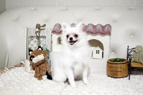 ポメラニアンの子犬(ID:1255411210)の2枚目の写真/更新日:2018-08-24