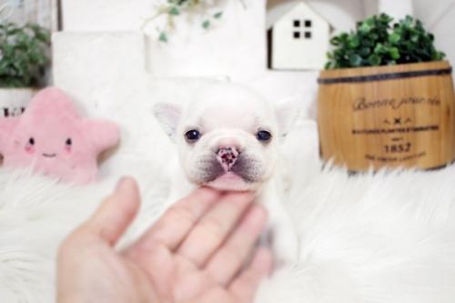 フレンチブルドッグの子犬(ID:1255411212)の2枚目の写真/更新日:2018-08-10