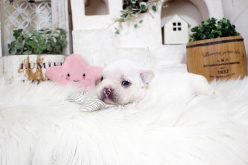 フレンチブルドッグの子犬(ID:1255411212)の3枚目の写真/更新日:2018-08-07
