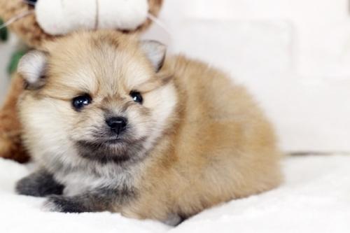ポメラニアンの子犬(ID:1255411214)の1枚目の写真/更新日:2018-08-24